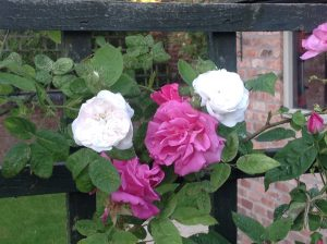 Zephrine Drouhan (pink rose) is highly susceptible to greenfly. Also pictured, Mme Hardy (white rose)