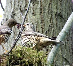 Mistle thrush in tree