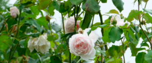 19th century French roses: Mme Alfred Carriére