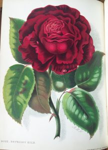 Reynolds Hole rose