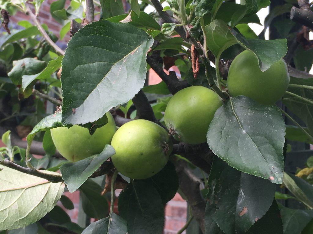 Bramley apple – www.storytellergarden.co.uk