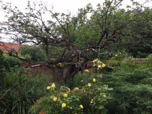 Bramley Apple tree in a Nottinghamshire garden © Copyright Martin Stott