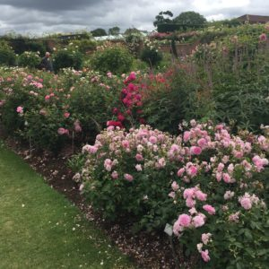 The spectacular rose beds at David Austin Roses