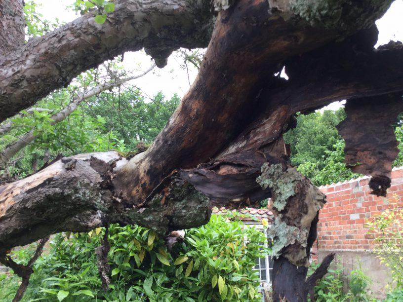 The original Bramley apple tree: from www.storytellergarden.co.uk
