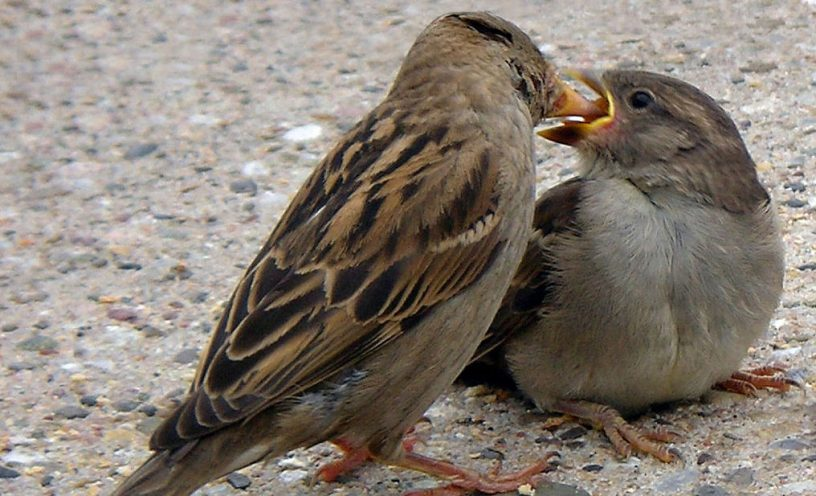 Loz (L. B. Tettenborn) - cropped version of the origin picture. Female House Sparrow (Passer domesticus) feeding its fledged chick.